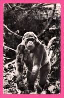 """Gorille - Afrique - Librairie """" Au Messager """" - CL. GALITZIN - Éditions HOA-QUI - Monos"""