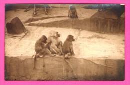 Carte Photo - Singes - Photo Prise Dans Un Zoo ?? - Lieu à Identifier - Macaques - Monos