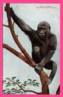 Gorilla - Gorille - New York Zoological Park - QUADRI-COLOR Co - NYZP Bear This Imprint - Monos