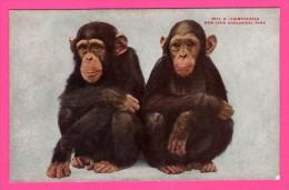 Chimpanzées - Chimpanzés - New York Zoological Park - QUADRI-COLOR Co - NYZP Bear This Imprint - Monos