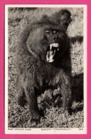 """East African Game - Baboons - Cynocephalus - S. SKULINA - PEGAS STUDIO - Édition """" Africa In Pictures """" - Monos"""