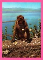 Rock Ape - Gibraltar - Singe - KRUGER - Monos