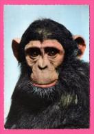 Chimpanzé - Cliché DRAGESCO - LA CARTE AFRICAINE - Bromocolor - Monos