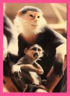 Zoo De Bâle - Singe Avec Son Bébé - JORG HESS - Monos