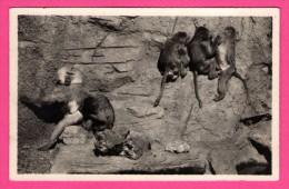 Singes Hamadryas Sur Leur Rocher - Parc Zoologique Du Bois De Vincennes - Édit. CLAUDE COUTEL - LÉVY Et NEURDEIN - Monos
