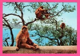 Gibraltar - Rock Apes - KRUGER - ROCK PHOTOGRAPHIC - Monos