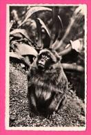 Blida - Gorges De La Chiffa - Singe En Liberté - JOMONE - 1954 - Monos