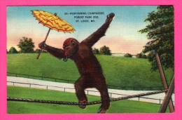 Dessin Singe - Chimpanzé Funambule - Performing Chimpanzee Forest Park Zoo St. Louis MO. - PAUL MONROE COMPANY - 1948 - Monos