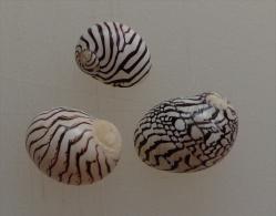 Puperita Pupa Guadeloupe 8,3/10,7mm F+++ AVEC OPERCULES N8 - Seashells & Snail-shells