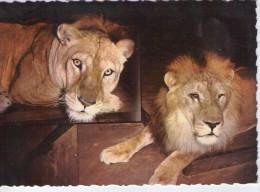 """Lions.. Animaux.. """"Brutus"""" Et Madame Roi Du Zoo Parc De La Tête D´Or Lyon - Lions"""