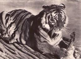 Lion.. Animaux Savane Brousse Faune - Lions