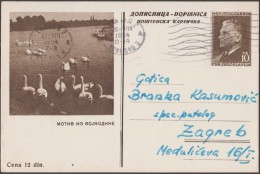 Yougoslavie 1954. Entier Postal Touristique. Motif De Vojvodine. Cygnes. Timbres à L'effigie Du Maréchal Tito (1950) - Cygnes
