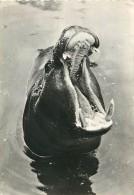 B16-0221 :  HIPPOPOTAME - Hippopotames