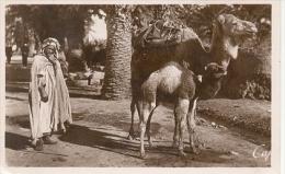 7-3ay78. Postal Argelia. Camello Y Su Cria - Argelia