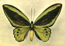 B16-0321  : PAPILLON   ORNITHOPTERA HECUBA  ILE DE KEI - Papillons