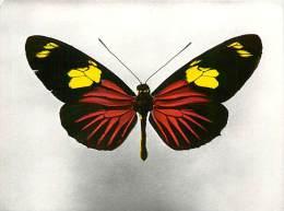B16-0322  : PAPILLON   HELICONIUS DORIS L. FORME DELILA HBN  GUYANE FRANCAISE MATOURY - Papillons