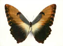 B16-0324  : PAPILLON   MORPHO HECUBA  AMERIQUE TROPICALE - Papillons