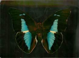 B16-0328  : PAPILLON   PREPONA MEANDER AMERIQUE TROPICALE - Papillons