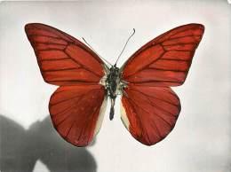 B16-0337  : PAPILLON  APPIAS ZARINDA     CELEBES - Papillons
