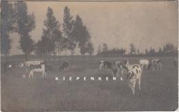 BRECHT OUDE FOTOKAART: DE WEIDEN MET RUNDEREN KOEIEN IN DEN ZOMER - V. T. B. B. - Photo A Verbeeck, Place Verte Anvers - Brecht