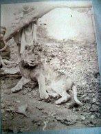 LION ANIMAUX SAUVAGES LIONCEAU EN GROS PLAN PHOTO LEGEREMENT BLANCHIE TIRAGE  VERS 1890 - Lions