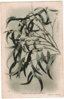 CPA, Branche D'Eucalypte En Fleurs (pk27561) - Plantes Médicinales