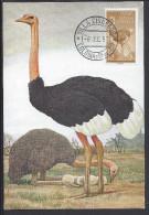 "SAHARA ESPAGNOL - 1957 - BELLE CARTE MAXIMUM THEMATIQUE OISEAUX "" AUTRUCHE "" - Struisvogels"