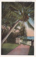 Florida Bearing Cocoanut Tree