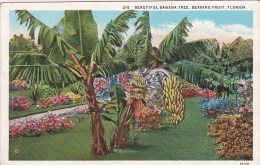 Florida Bearing Friut Beautiful Banana Tree