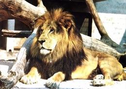 # Lion  - Zoo De Stuttgart - Lions