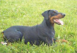 DOGS / HUNDE / CHIENS /  -    DOBERMAN  Postcard  Unused   ( P 766 ) - Hunde