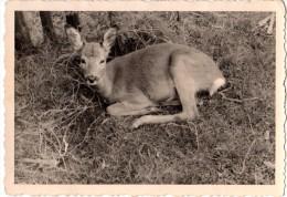 Photo Originale Animaux - Faon En 1955 - Voir Légende - - Personnes Anonymes