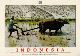 INDONESIA  OXEN PLOWING RICE PADDIES PRIOR TO PLANTING IN THE TRADITIONAL FASHION   MAXICARD  11,5X16,5    (VIAGGIATA) - Indonesia