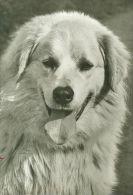 DOGS / HUNDE / CHIENS /  -  OWCZAREK PODHALANSKI    Postcard  Unused   ( P 752 ) - Hunde