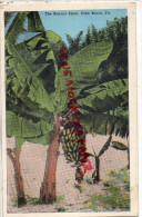 ETATS UNIS AMERIQUE - THE BANAN PLANT  PALM BECH - FLORIDA - BANANIER  BANANE - Palm Beach