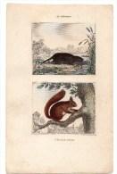 Authentique Gravure 19ème Mammifères Rongeurs Le Scherman L'écureuil Commun - Prints & Engravings