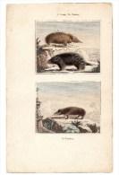 Authentique Gravure 19ème Mammifères Rongeurs L'urson Le Tenrec Le Tendrac - Prints & Engravings