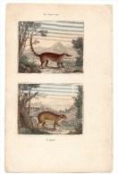 Authentique Gravure 19ème Mammifères Rongeurs Le Coati Roux L'agouti - Prints & Engravings