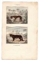 Authentique Gravure 19ème Mammifères Carnivores Le Cougouard Roux Puma Le Jagouard Jaguar - Prints & Engravings