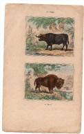 Authentique Gravure 19ème Mammifères Herbivores Le Buffle Le Bison - Prints & Engravings