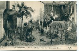 18 - Bourges : Muséum D´ Histoire Naturelle - Chameau Et Zèbre - Bourges