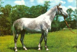 HORSES / PFERDE / CHEVAUX /  POSTCARD UNUSED     ( H  3457  / - Pferde