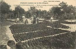 A16-2095 : ARCACHON LE MOULLEAU RECOLTE ET SECHAGE DE LA GRAINE DE PIGNES  FORET DU PILAT - Non Classés