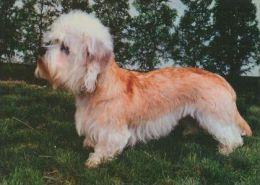 DOGS / HUNDE / CHIENS /  -  DANDIE DINMONT TERRIER   Postcard  Unused   ( P 3650 ) - Perros