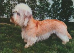 DOGS / HUNDE / CHIENS /  -  DANDIE DINMONT TERRIER   Postcard  Unused   ( P 3650 ) - Dogs