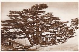 Libanon Lebanon Liban The Cedars 1955