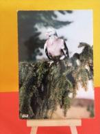 Oiseaux Exotiques - Pigeon Voyageur - Non Circulé - Vogels