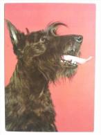 Dog  Chien  Hund / Scotish Terrier - Cani