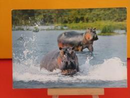 Faune Africaine - Hippopotames - Non Circulé - Un Clic Sur La Photo .. - - Flusspferde