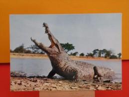 Faune Africaine - Crocodile - Non Circulé - Un Clic Sur La Photo .. - - Dieren